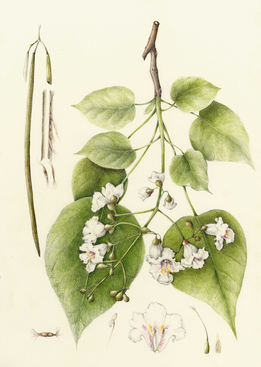 Catalpa Tree - Catalpa speciosa