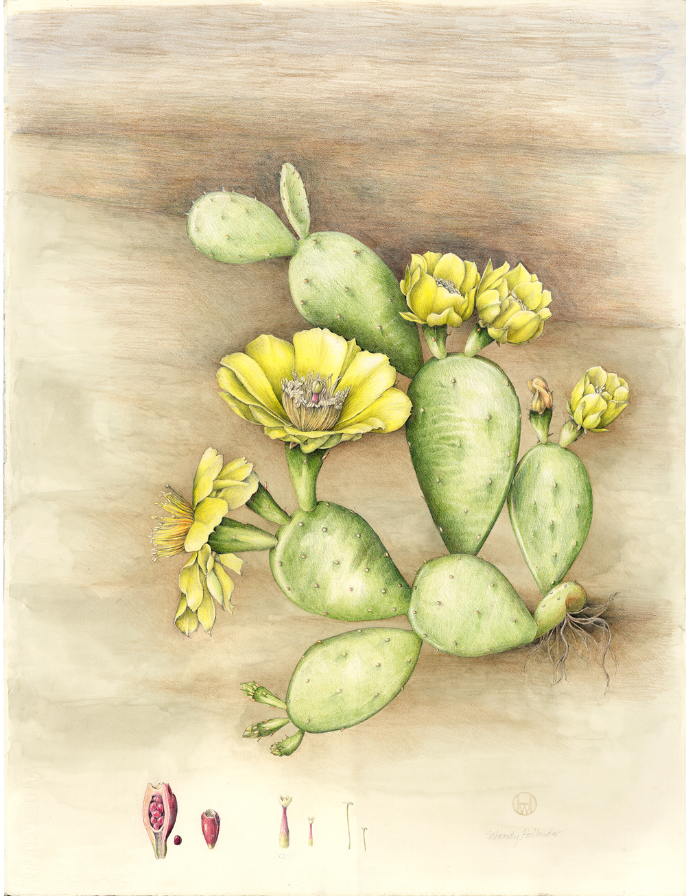 Prickly Pear Cactus - Opunitia