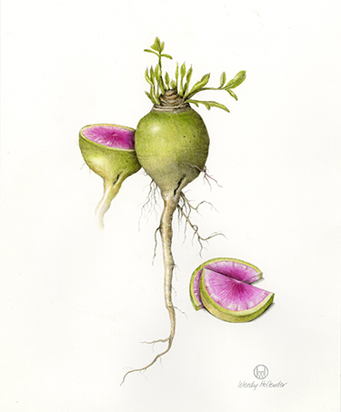 Watermelon Radish - Raphanus sativus