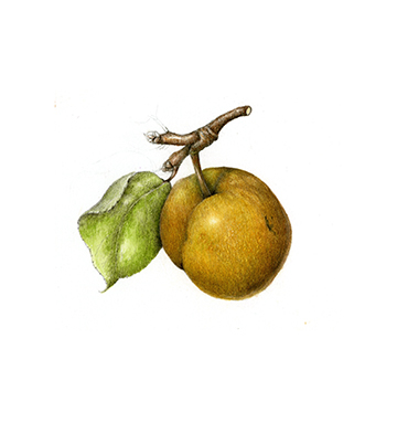Asian Pear - Pyrus
