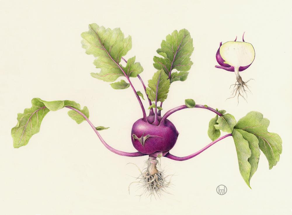 Kohlrabi-Brassica+oleracea.jpg