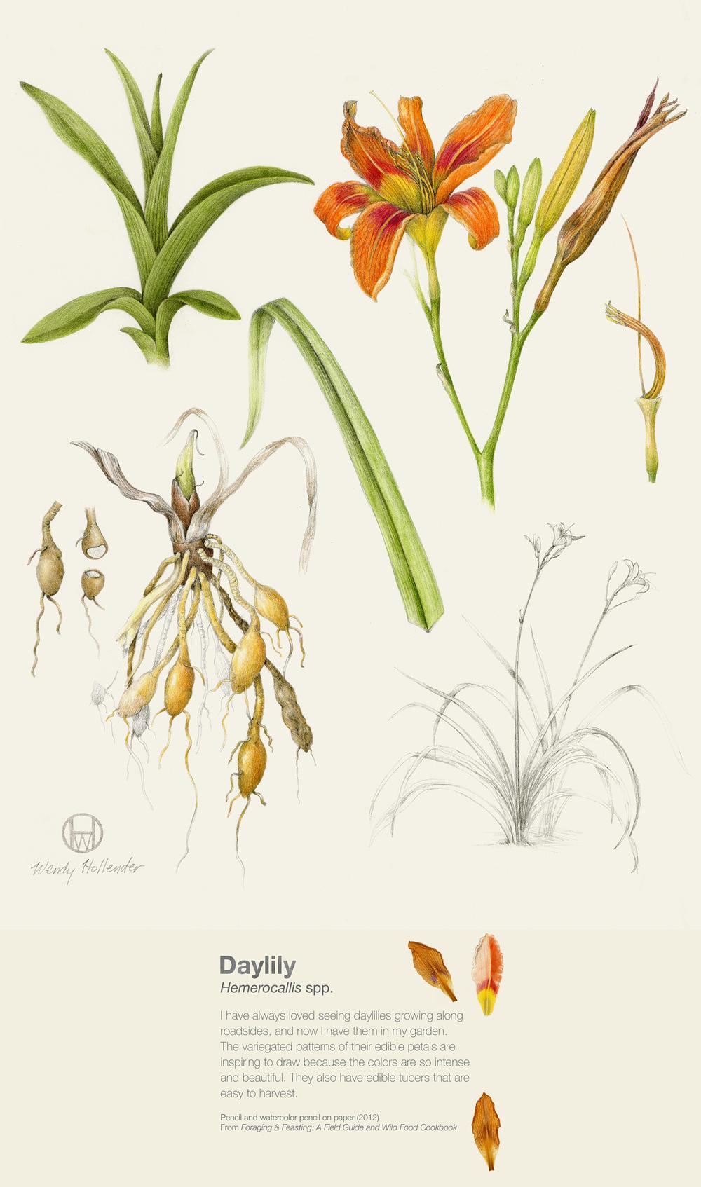 Daylily - Hemerocallis spp.