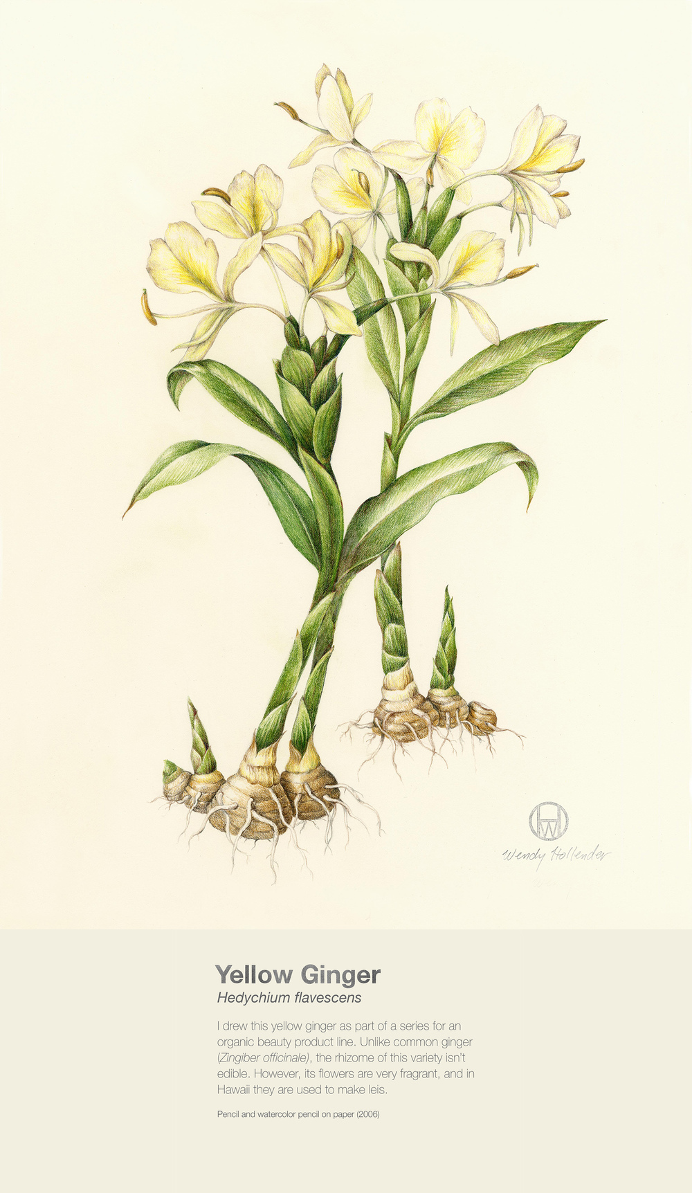 Yellow Ginger - Hedychium flavescens
