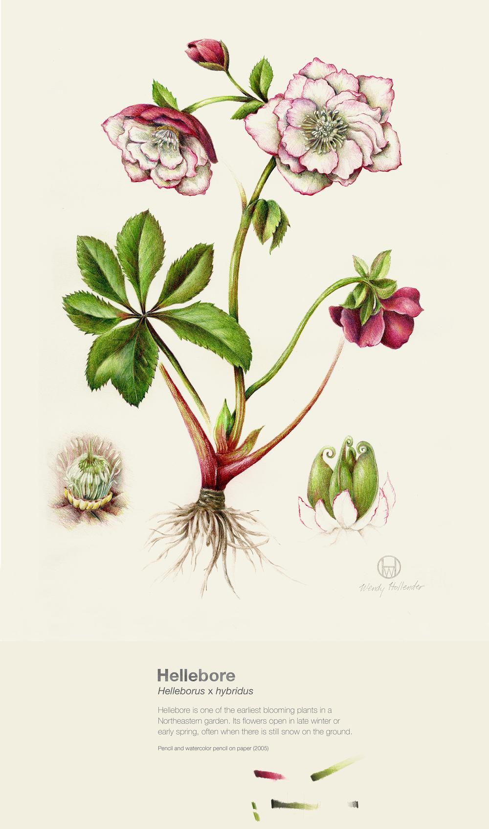 Hellebore - Helleborus x hybridus