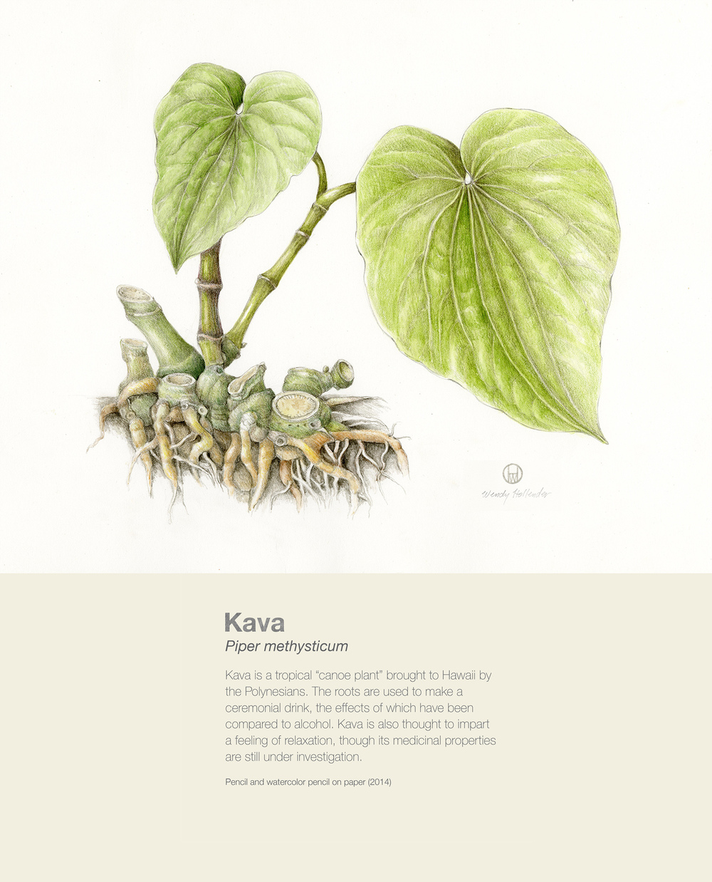 Kava - Piper methysticum