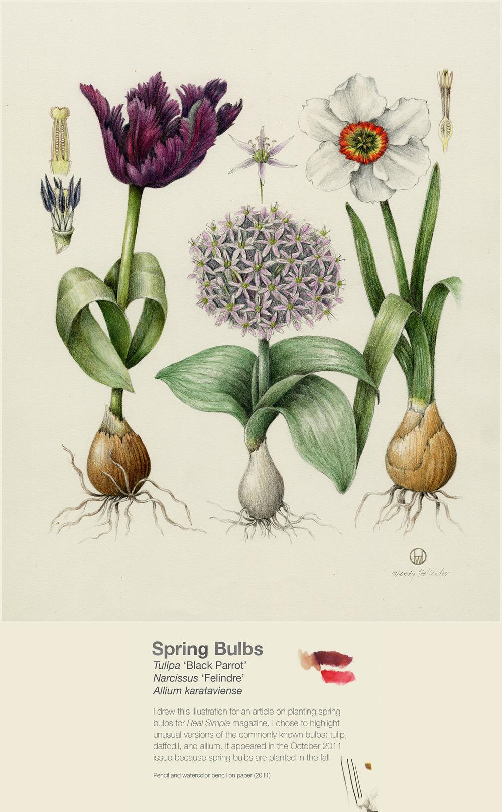 Spring Bulbs - Tulipa 'Black Parrot', Narcissus 'Felindre', Allium karataviense