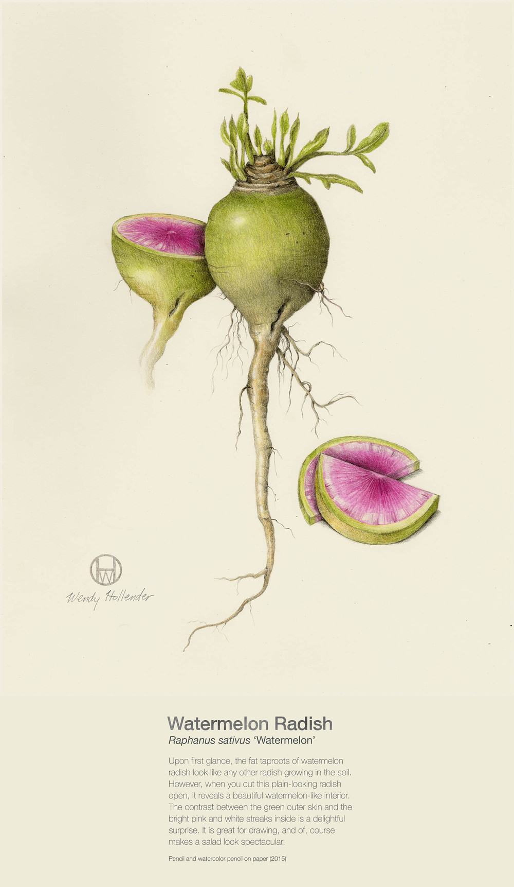Watermelon Radish - Raphanus sativus 'Watermelon'