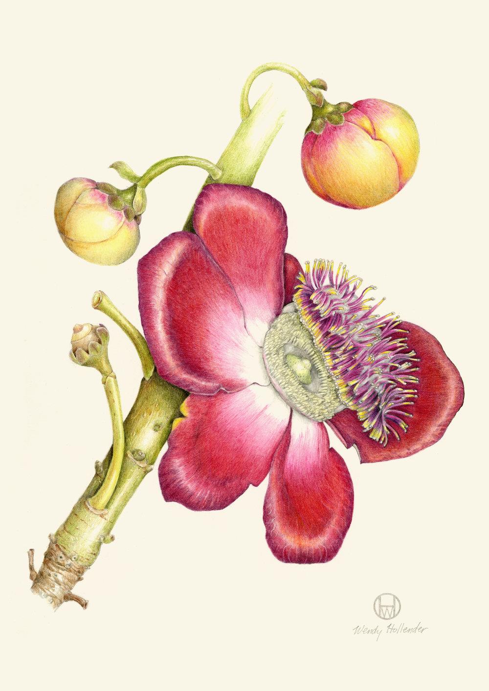 Cannonball Flower - Couroupita guianensis