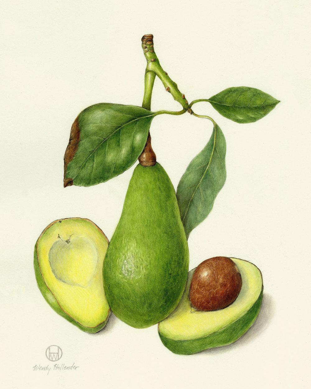 Avocado - Persea americana