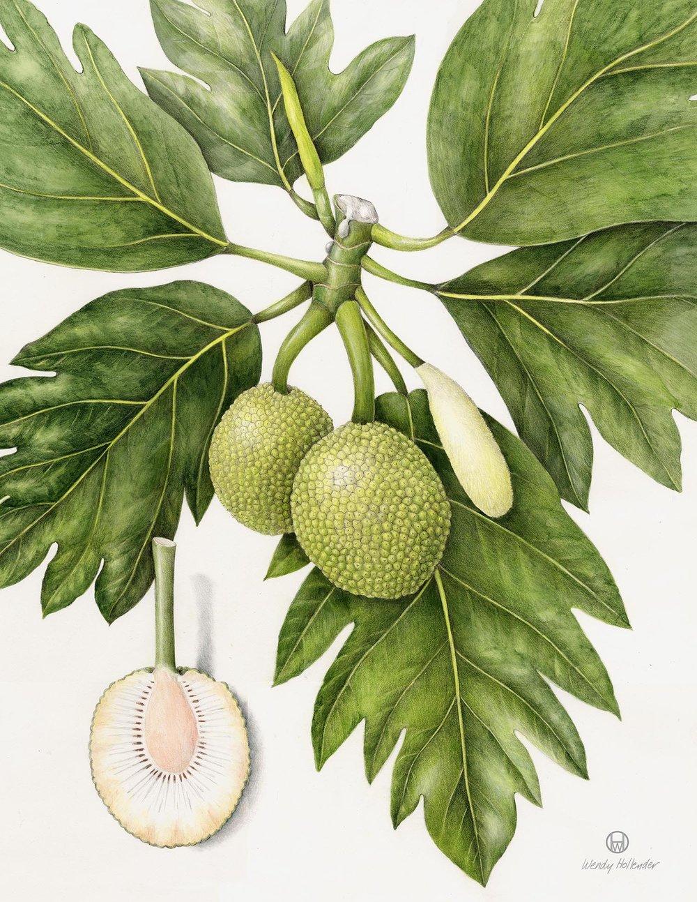 Breadfruit - Artocarpus altilis