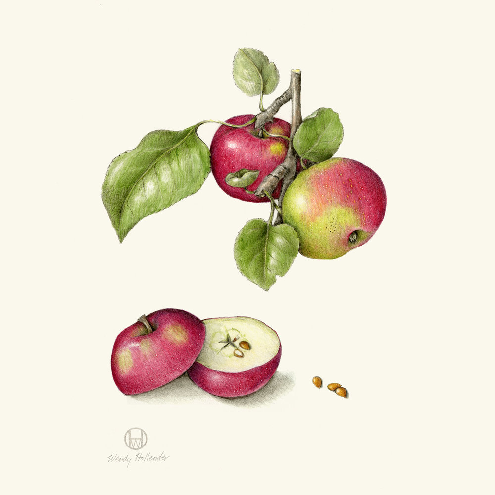 Tideman apple - Malus