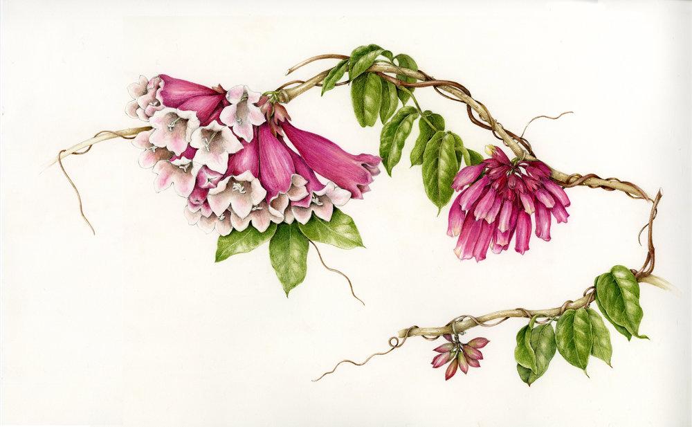 Pink Trumpet Vine - Tecomanthe sp. roaring Meg