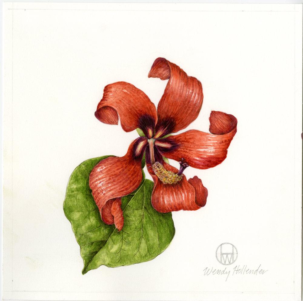 Hibiscus  - Hibiscus halemaumau