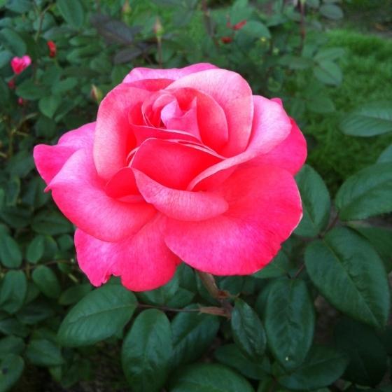 pdx rose garden 4.JPG