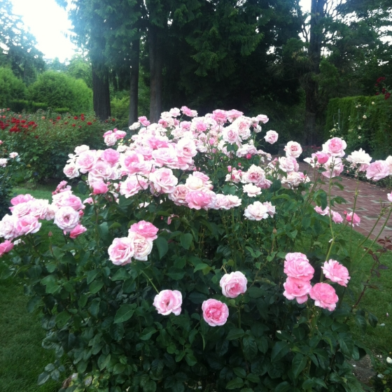 pdx rose garden 6.JPG