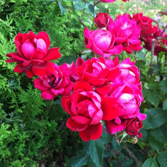 pdx rose garden 2.JPG