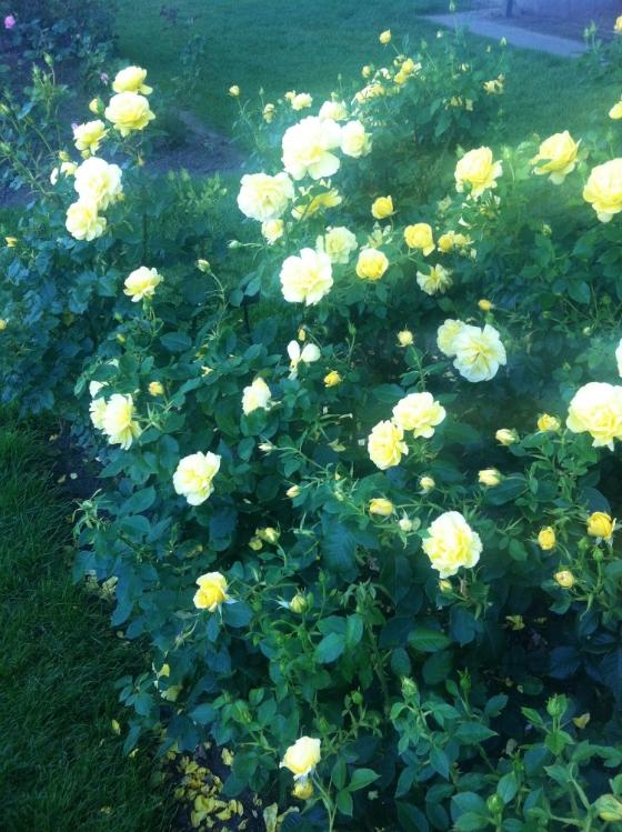 pdx rose garden 3.JPG