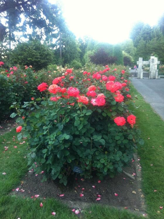pdx rose garden 9.JPG