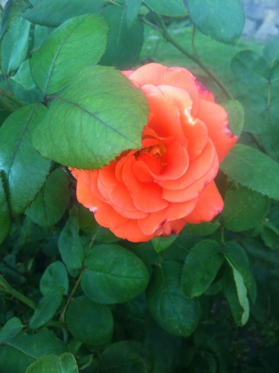 pdx rose garden 5.JPG