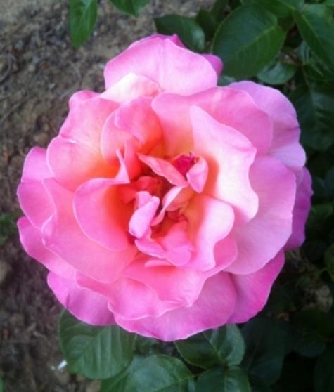 backyard rose.JPG