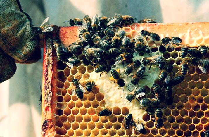 Beekeeper holding frame