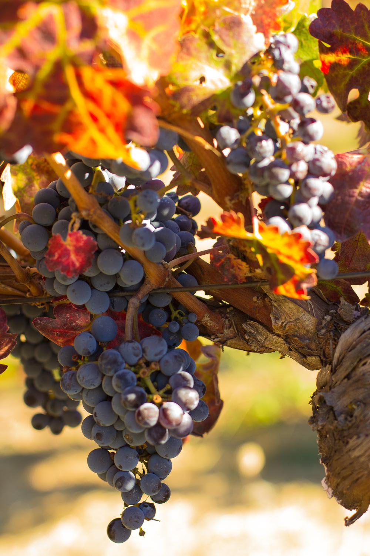 Grapes_2.jpg