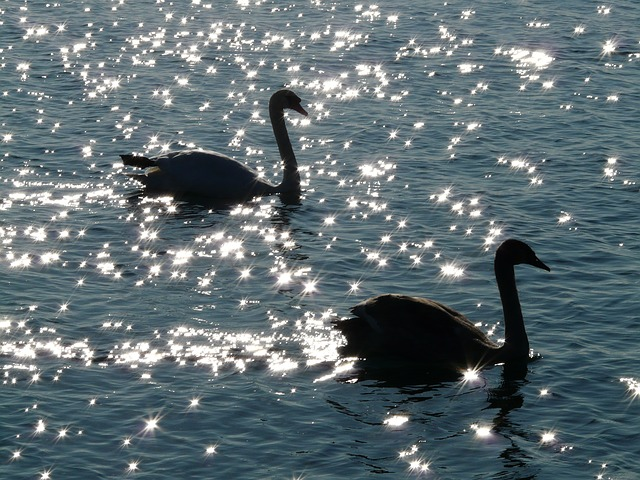 Black swans, by Hans CC0