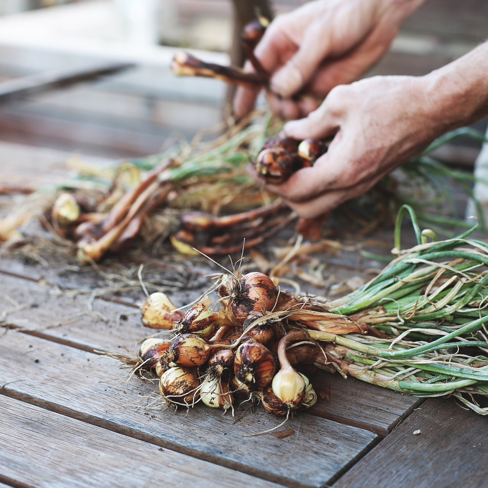 Shallot Harvest with Urban Agronomist