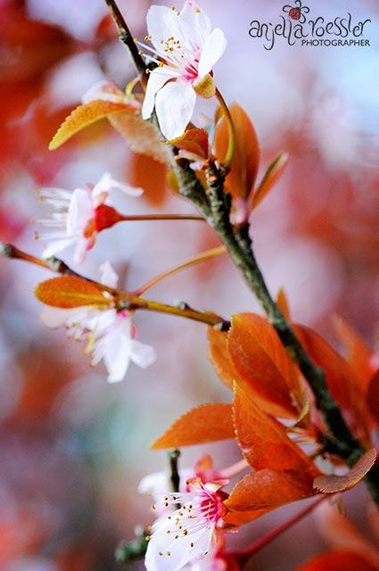 Cherry Blossom. Nikon D300 with Tamron 90mm macro lens. ISO 800 1/125 @f11