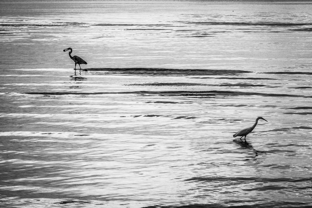 Dinnertime for wading birds at high tide