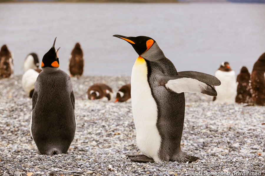 King penguins, with their bright yellow and orange coloring, is similar in color and size to the popular Emperor penguins
