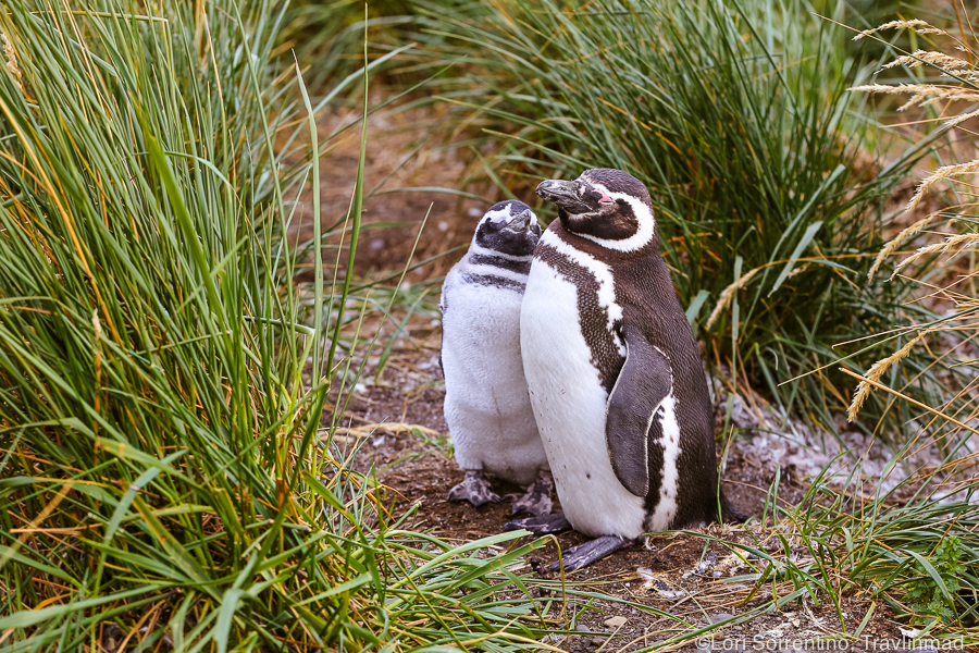Magellanic Penguins, Ushuaia, Argentina