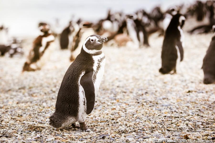 Magellanic penguin, Ushuaia, Argentina