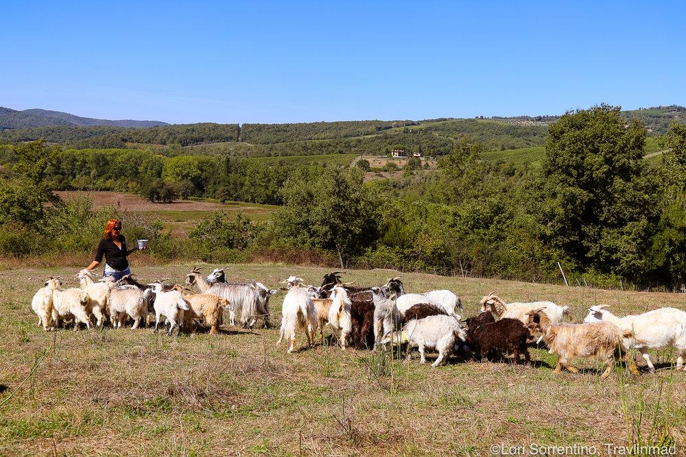 Cashmere goats, Chianti, Italy