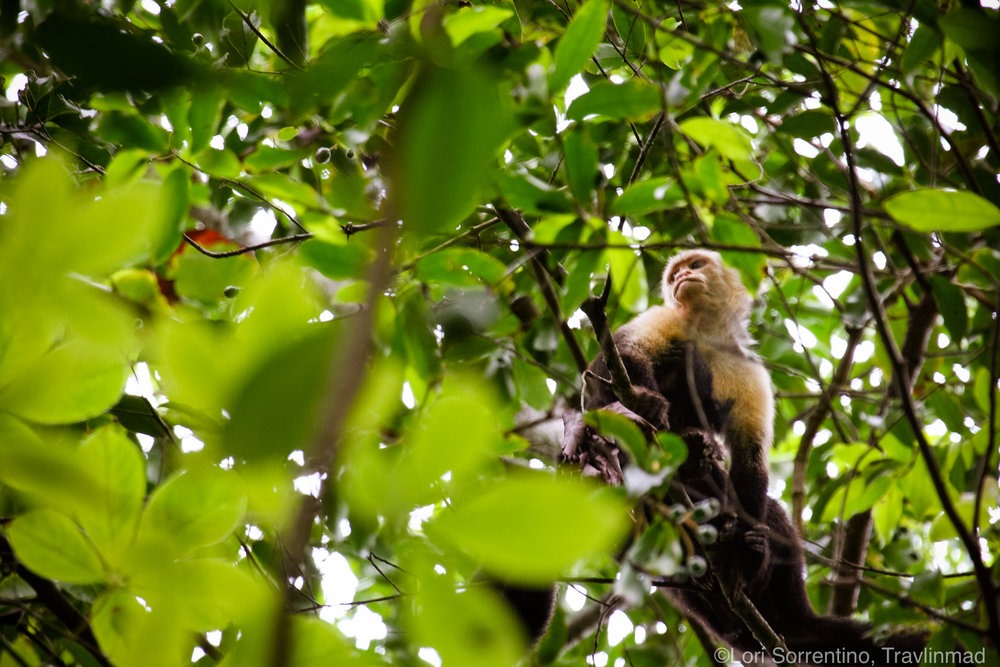 White-faced Capuchin monkey, Costa Rica