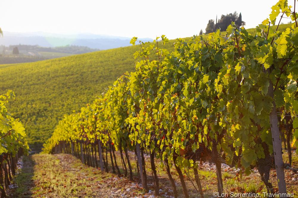 Vineyards, Chianti, Italy