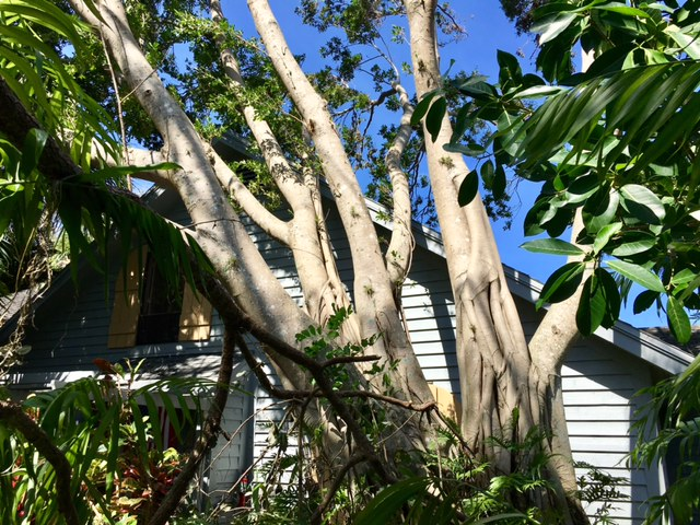 My neighbor's house holds up a beautiful old banyan tree, blown over by Hurricane Irma