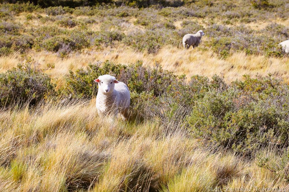 Sheep, Patagonia, Chile