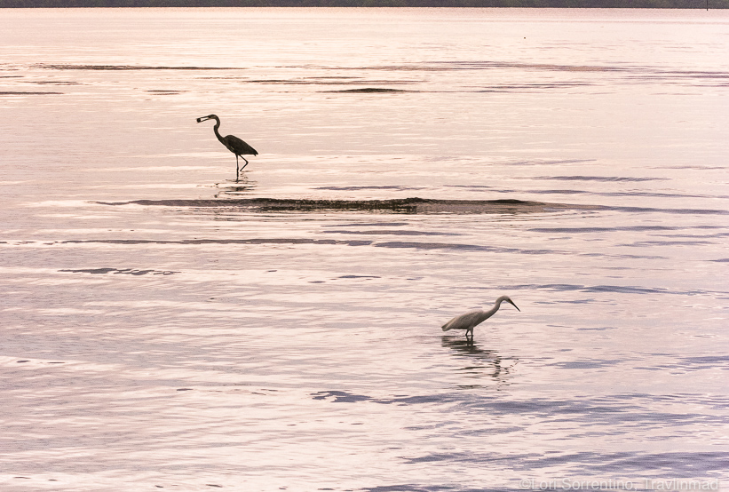 Dinnertime for wading birds at high tide