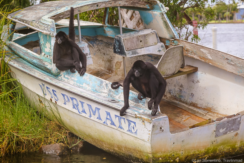 Spider monkeys in Homosassa, Florida