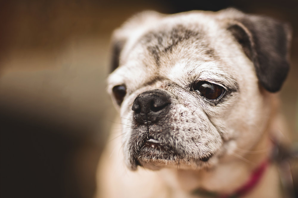 adorable-pug-portrait-dog-photography-downtown-leesburg-kate-montaner-photography