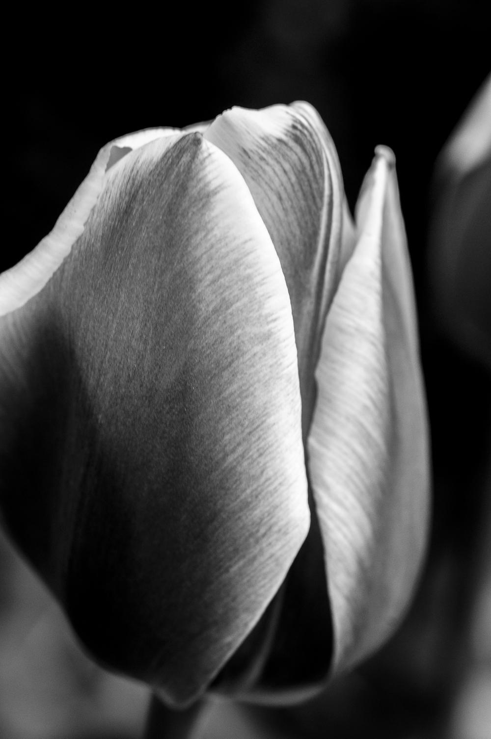 Tulip # 2