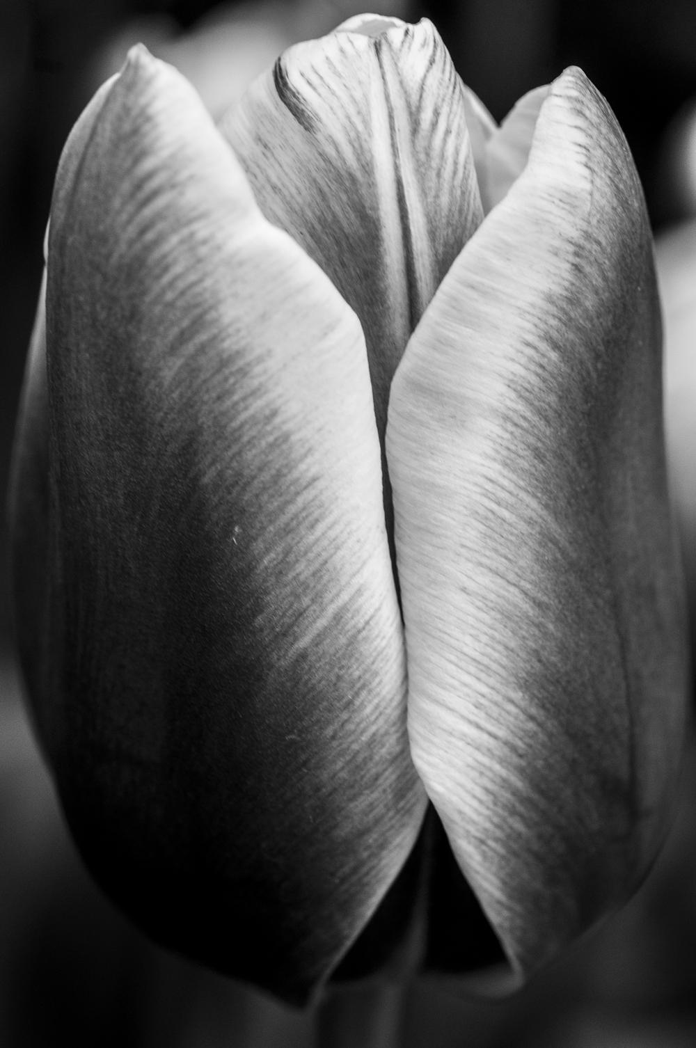 Tulip # 3