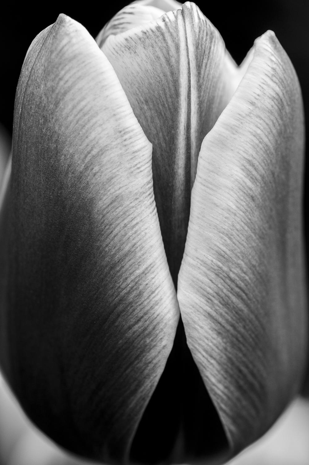 Tulip # 9