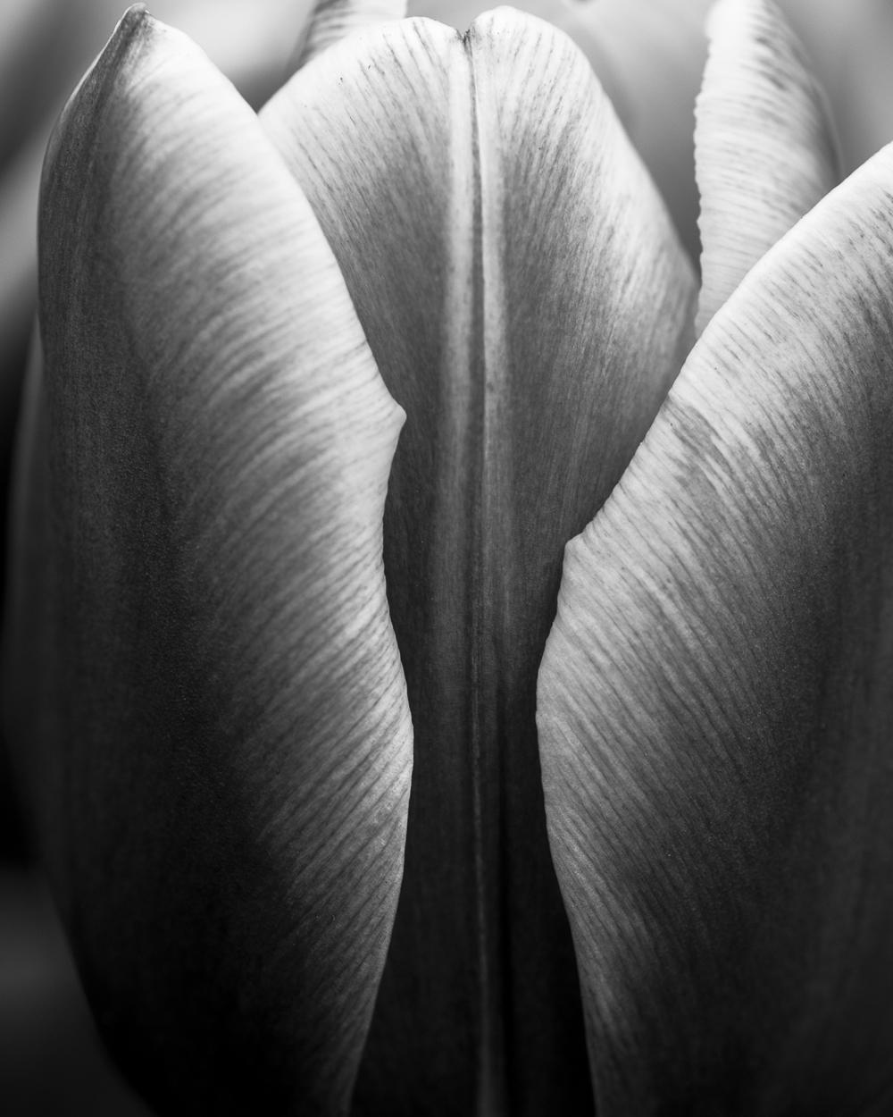Tulip # 11