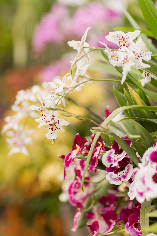 Melissa Kruse Photography - New York Botanical Garden Orchid Show-70.jpg