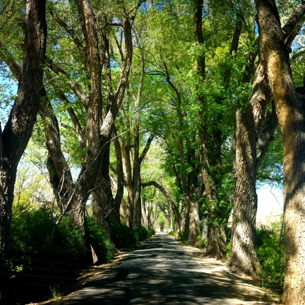 An allee of Cottonwood and Elm trees form the formal entrance to Los Poblanos Historic Inn and Organic Farm. They were planted in the 1930's when Ruth Hanna Mc Cormick and fellow senator Albert Simms hired architect John Gaw Meem to rebuild the farmhouse called Los Poblanos and design a new community building called La Quinta.