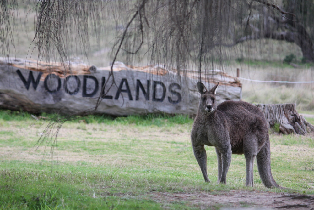 HWB Living Legends Woodlands Kangaroo.JPG