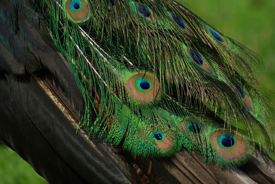Peacock Plumage #2