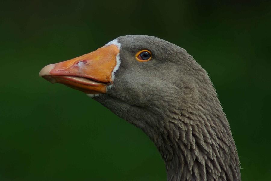 Greylag Goose #1
